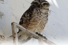 coco-bongo-hoot-the-owl